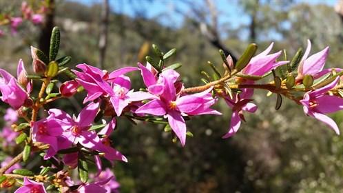 Boronia amabilis