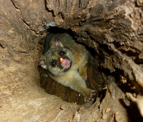 Brushtail possum relocated along with his hollow.