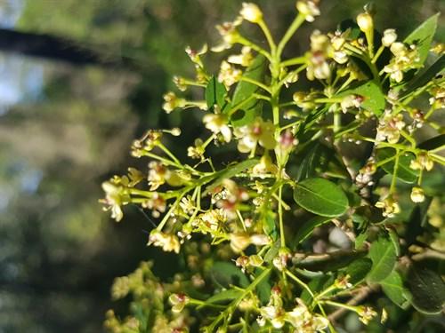 denhamia-parvifolia