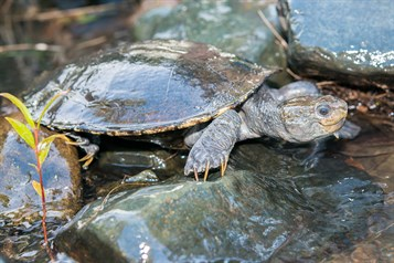 Threatened White-throated snapping turtle habitat in and around timber bridges including nesting banks
