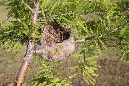 Noisy Friarbird nest
